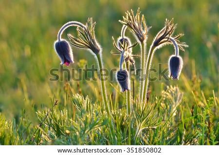 Mountain Pasqueflower (Pulsatilla montana) in flower on a March morning - stock photo