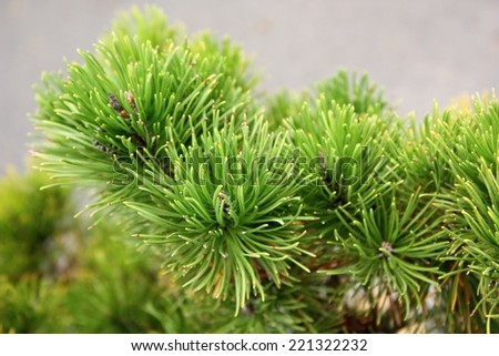 Mountain pine, dwarf mountain pine, scrub mountain pine, Swiss mountain pine, mugo pine or creeping pine (Pinus mugo) - stock photo