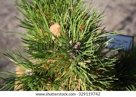 Mountain pine, dwarf mountain pine, scrub mountain pine, Swiss mountain pine, mugo pine or creeping pine (Pinus mugo) - stock photo