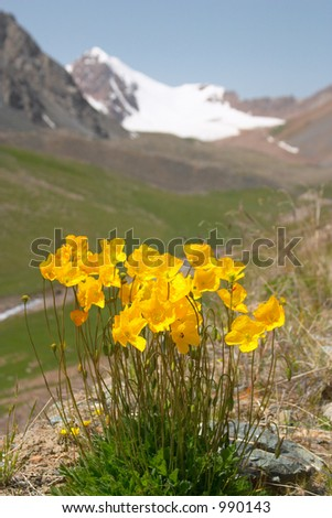 Mountain poppy with mountains in the background - stock photo
