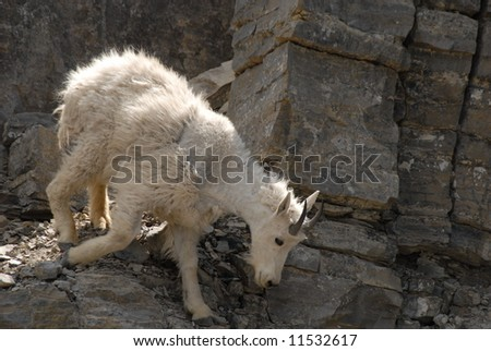 Mountain sheep walking - stock photo
