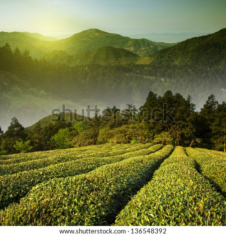 Mountain tea - stock photo