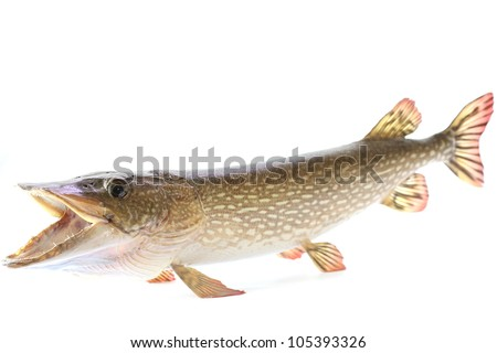 Mounted northern pike - stock photo