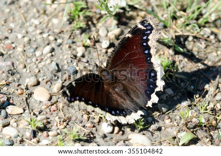 Mourning Cloak Butterfly resting.