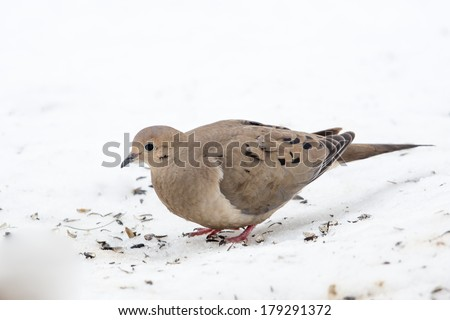 Mourning Dove in Snow - stock photo