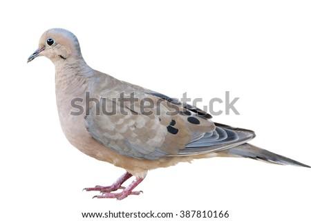 Mourning Dove Isolated on White Background - stock photo