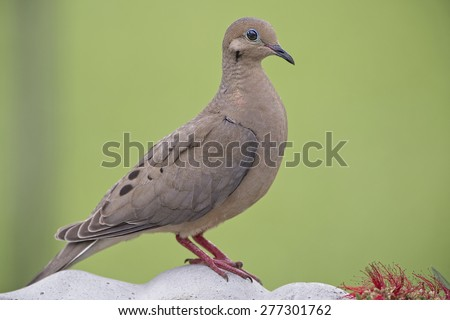 Mourning Dove on Bird Bath - stock photo