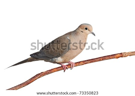 mourning dove relaxes on a branch, white background - stock photo