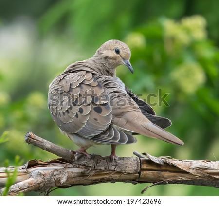 Mourning Dove (Zenaida macroura)  - stock photo