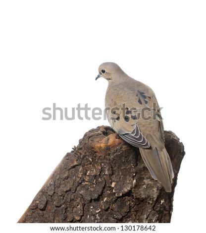 Mourning Dove (zenaida macroura)    back - stock photo