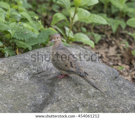 mourning dove,Zenaida macroura is a member of the dove family, Columbidae. - stock photo