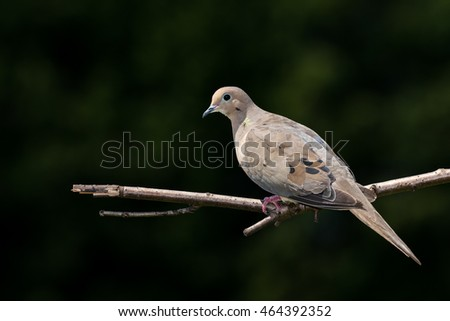 Mourning Dove - Zenaida macroura, perched on a branch and making eye contact.  Background is blurred trees.