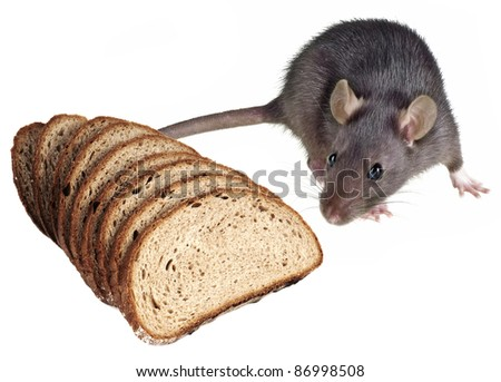 mouse and bread - pests - stock photo