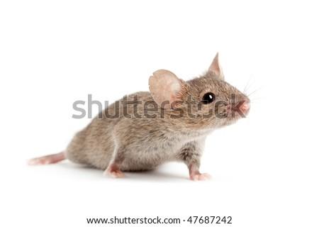 mouse closeup isolated on white background - stock photo