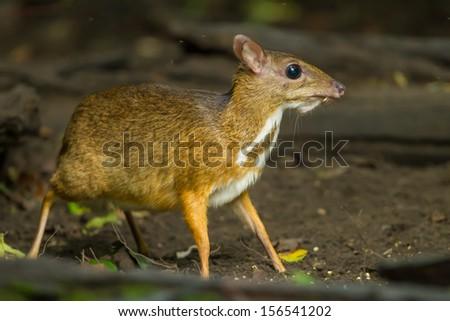 Mouse deer(Tragulus javanicus) in Kengkrajarn National park,Thailand  - stock photo