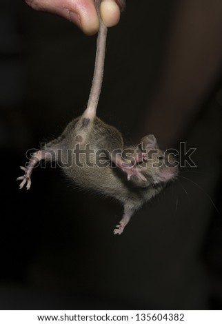 Mouse hold by the tail. These rodents are breed for feed birds of prey