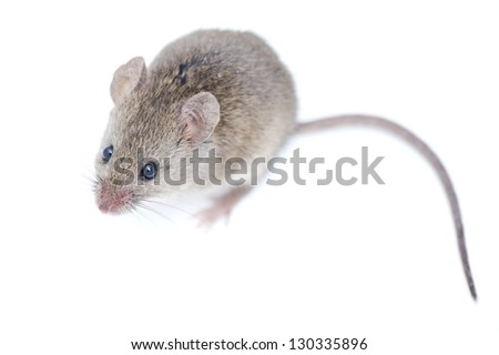 Mouse isolated on white background - stock photo