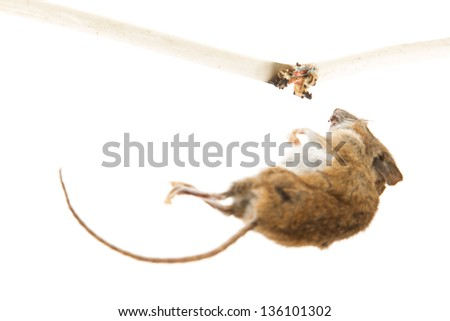 Mouse killed by chewing on a power cable selective focus on cable