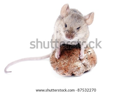 Mouse .Micromys minutus, studio shot  isolated  on  white background