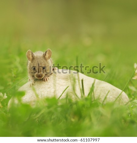 Mouse on stone on grass - green background - stock photo