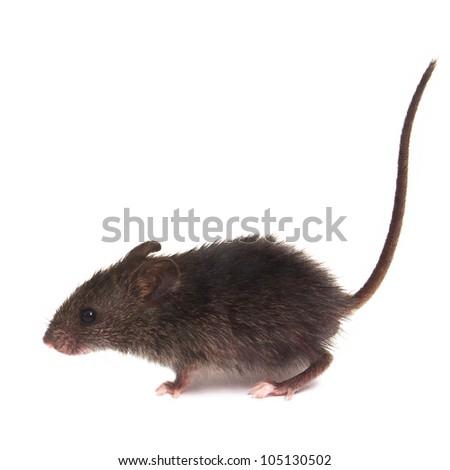 Mouse wild rat isolated on white background - stock photo