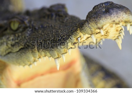 mouth of a crocodile
