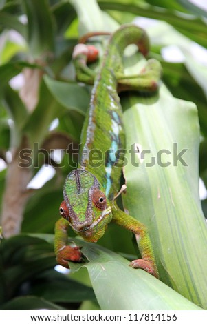 Moving colorful chameleon on a leaf