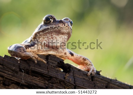 Mr. Frog speech on the rostrum to his people - stock photo