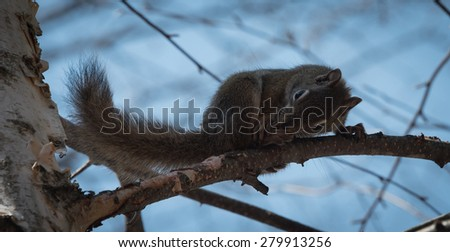 Mr. Red squirrel follows me around where he lives in the woods near a cottage. - stock photo