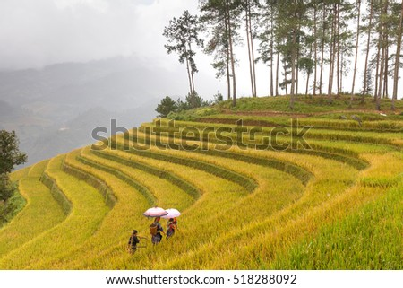 Mu Cang Chai, Yen Bai province, Vietnam - September 26, 2016 : H'mong women farmer go home on terrace rice fields on mountain at Mu Cang Chai, Yen Bai province, Vietnam