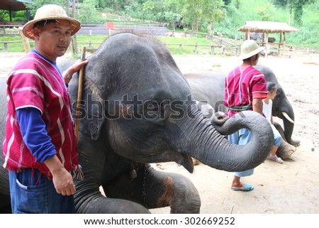 Muang District, CHIANGMAI,THAILAND - August 2:: Elephant sitting. Elephant show at Maesa Elephant Camp.August 2,2015