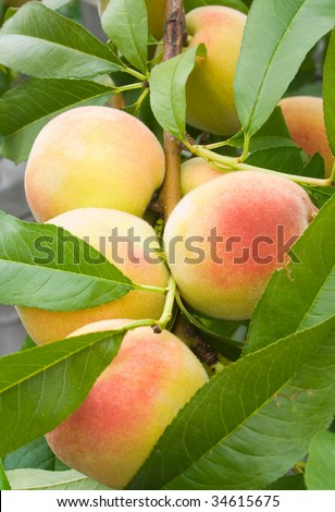 peach orchard single women Pretty peach flowers bring back memories of ancient china for single men and women during the peach blossom festival a peach orchard.