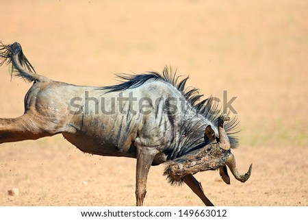Muddy Blue wildebeest on the run (  Taurinus; connochaetes ) - Kalahari desert - South Africa - stock photo