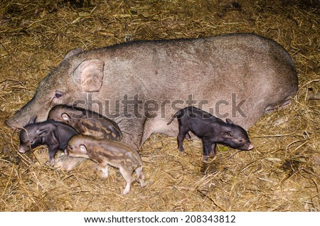 Muddy Pig with baby pigs