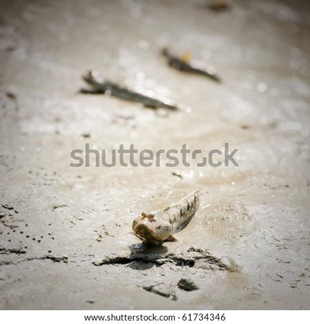 Mudskipper - stock photo