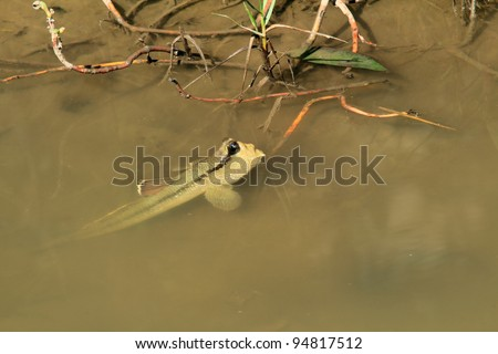Mudskipper in a mangrove swamp on the coast of thailand - stock photo