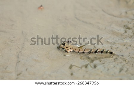 Mudskipper or Amphibious fish in Sea mud. - stock photo