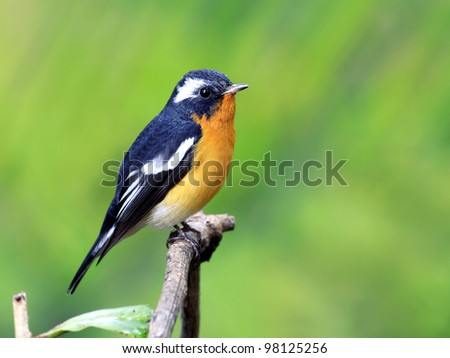 Mugimaki Flycatcher (Ficedula mugimaki) - stock photo
