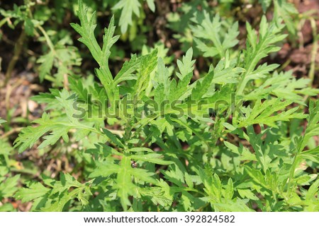 Mugwort field - stock photo