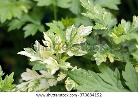 Mugwort's variegated leaves (Artemisia vulgare) - stock photo