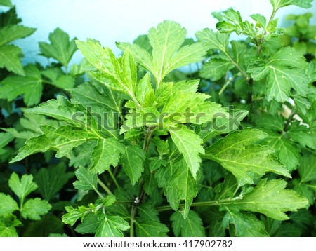 Mugwort tree, Artemisia vulgaris, variegated leaves. - stock photo