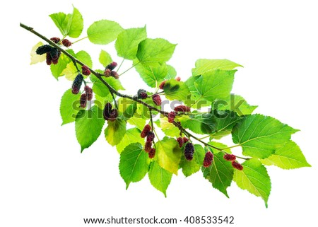 Mulberry fruit. mulberry on branch. Mulberry fruit isolated on white background.