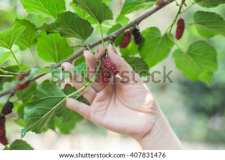 Mulberry fruit on tree, Berry in nature, selective focus.