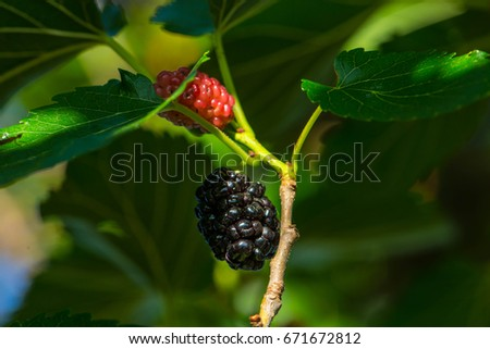 Mulberry (Morus) on a branch in summer