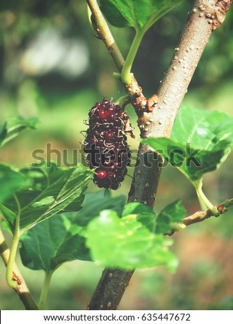 Mulberry on tree