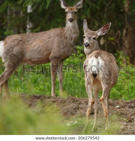 Mule deer - stock photo