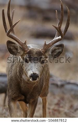 """Mule Deer Buck """"action portrait"""" - stock photo"""