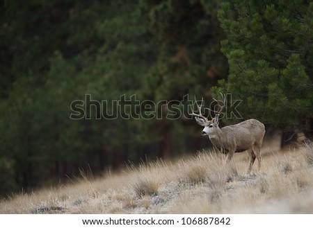 Mule Deer Buck Environmental Image (buck facing left) - stock photo