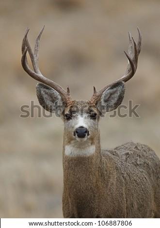 Mule Deer Buck head shot, facing head-on toward camera - stock photo