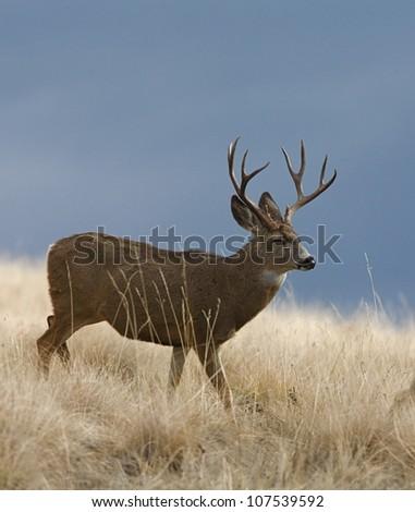 Mule Deer Buck in a prairie, with cool blue sky - stock photo